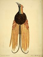 Image of Goldie's Bird of Paradise