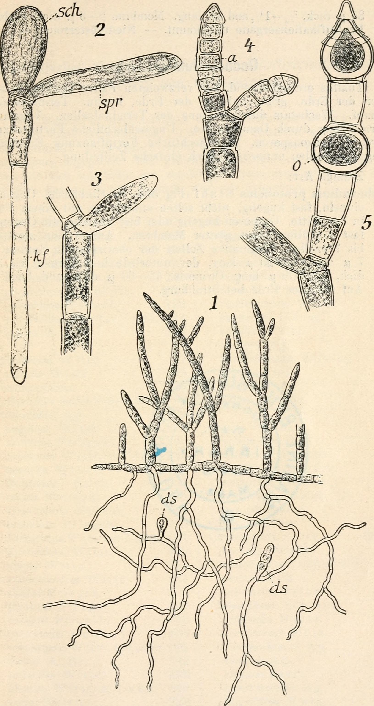 Image of Oedocladium