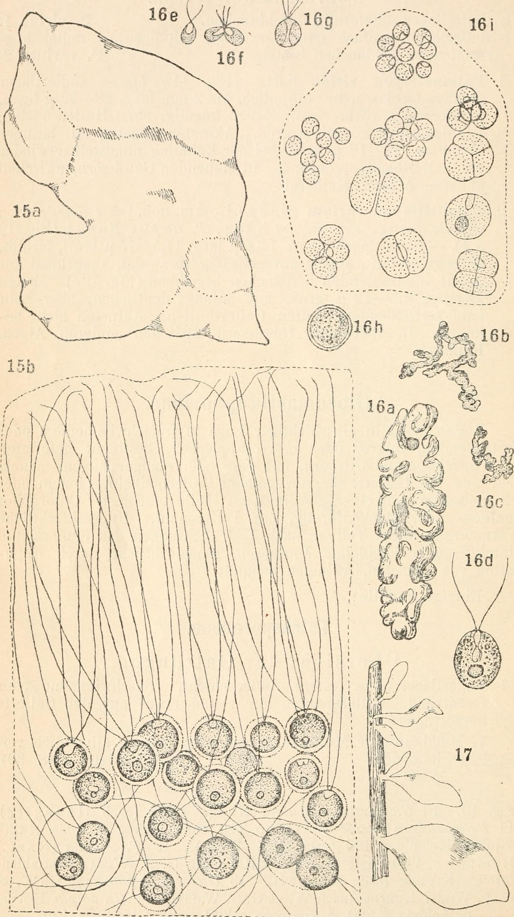 Image of Tetraspora
