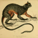 Image of Red-bellied Tamarin