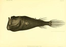Image of seadevils