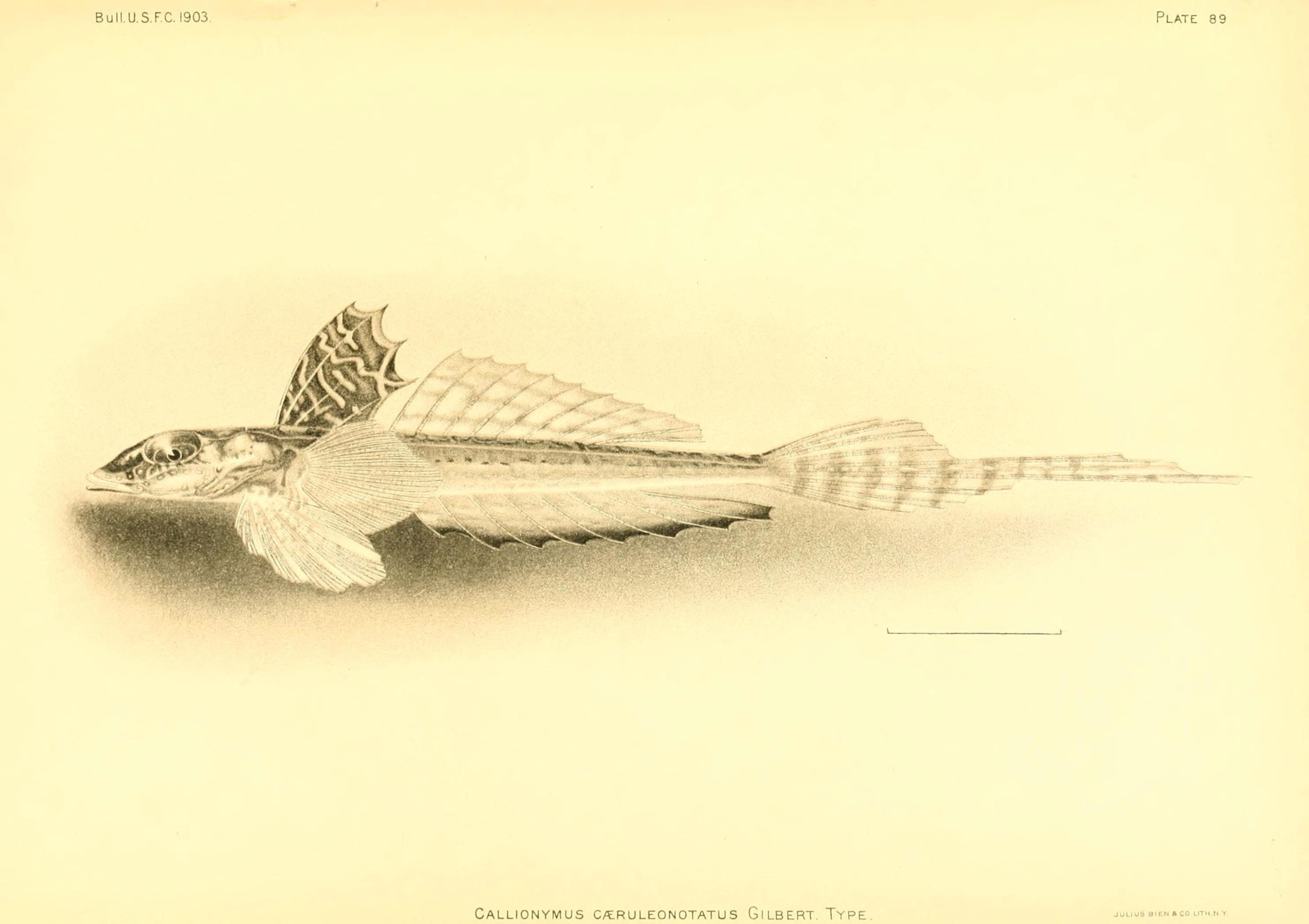 Image of <i>Callionymus caeruleonotatus</i> Gilbert 1905