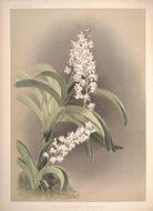 Image of <i>Rhynchostylis coelestis</i> (Rchb. fil.) A. H. Kent