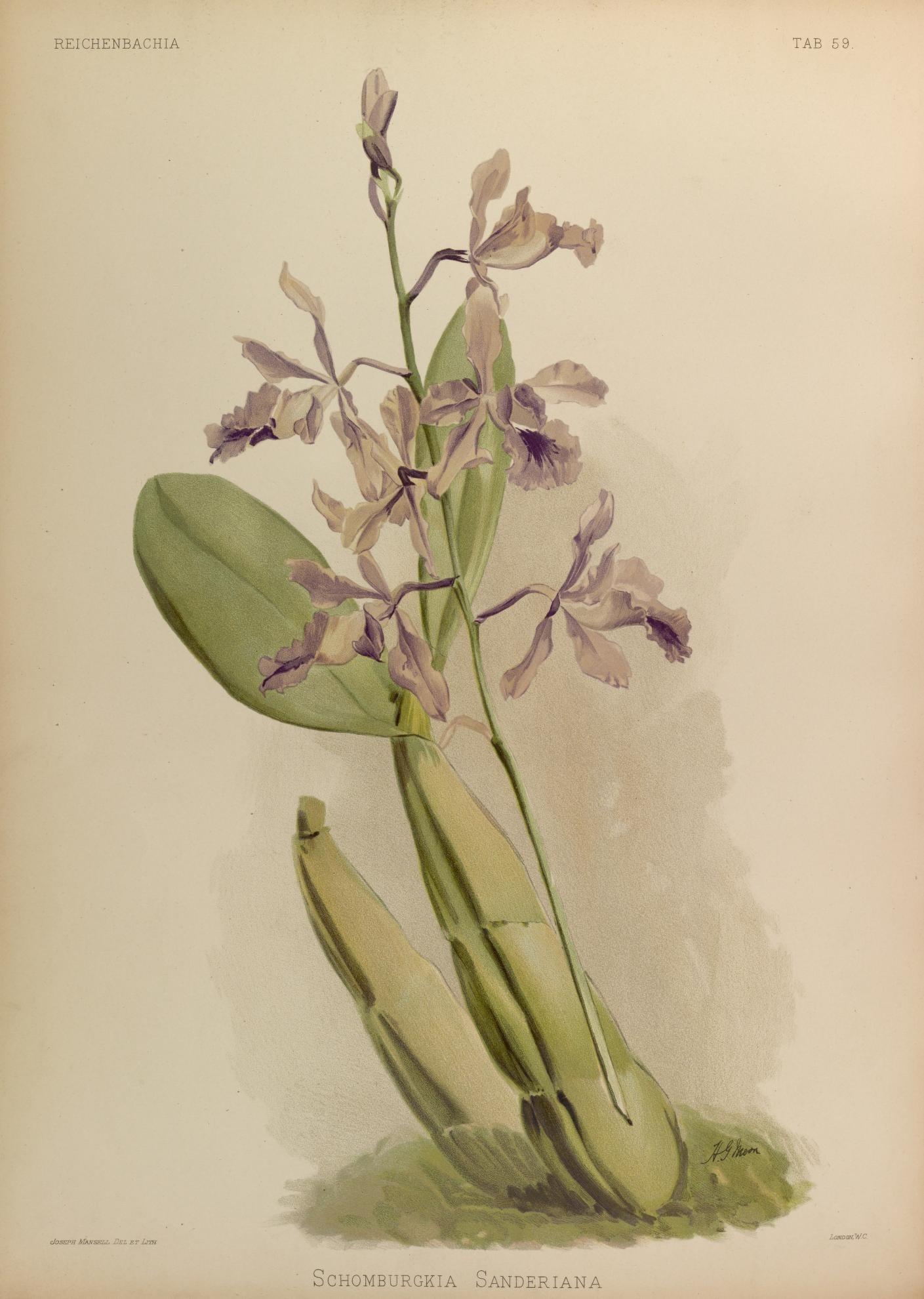 Image of Myrmecophila