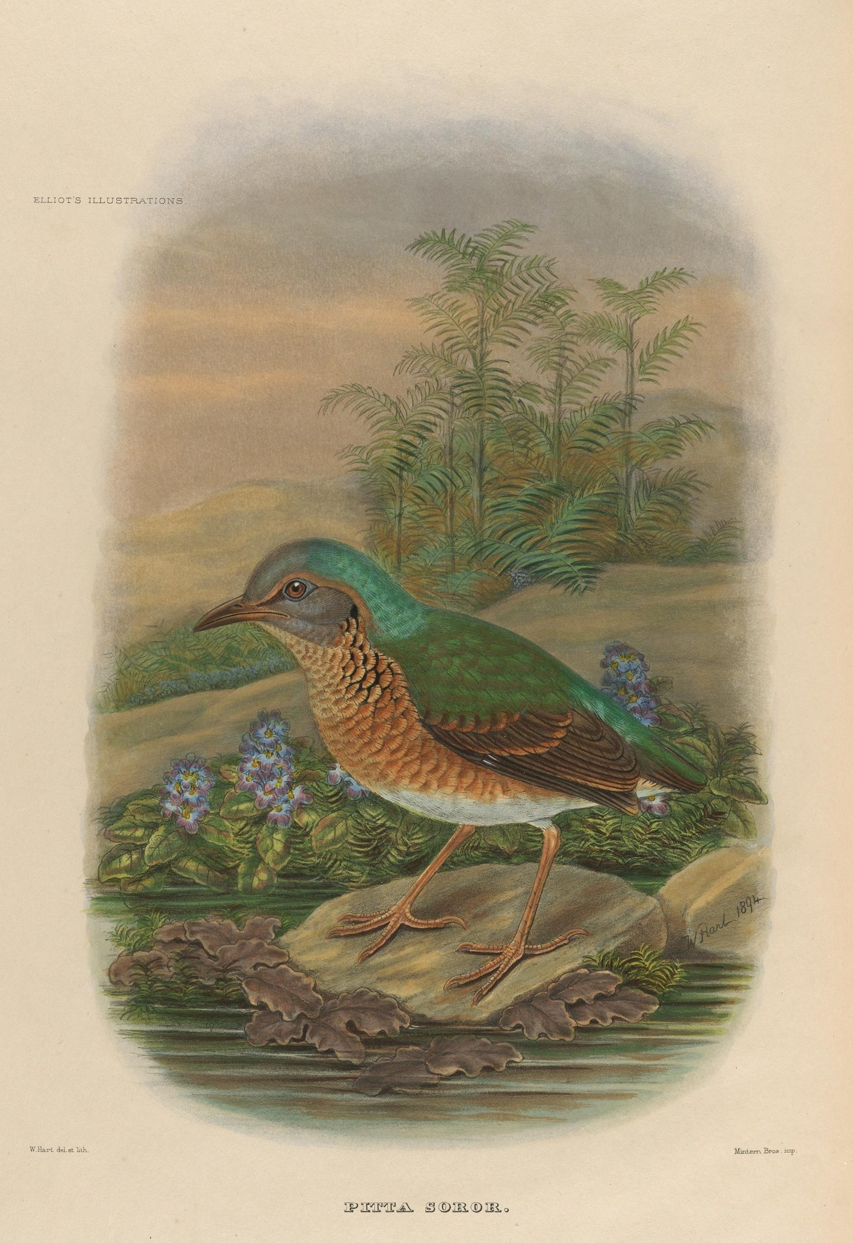 Image of Blue-rumped Pitta