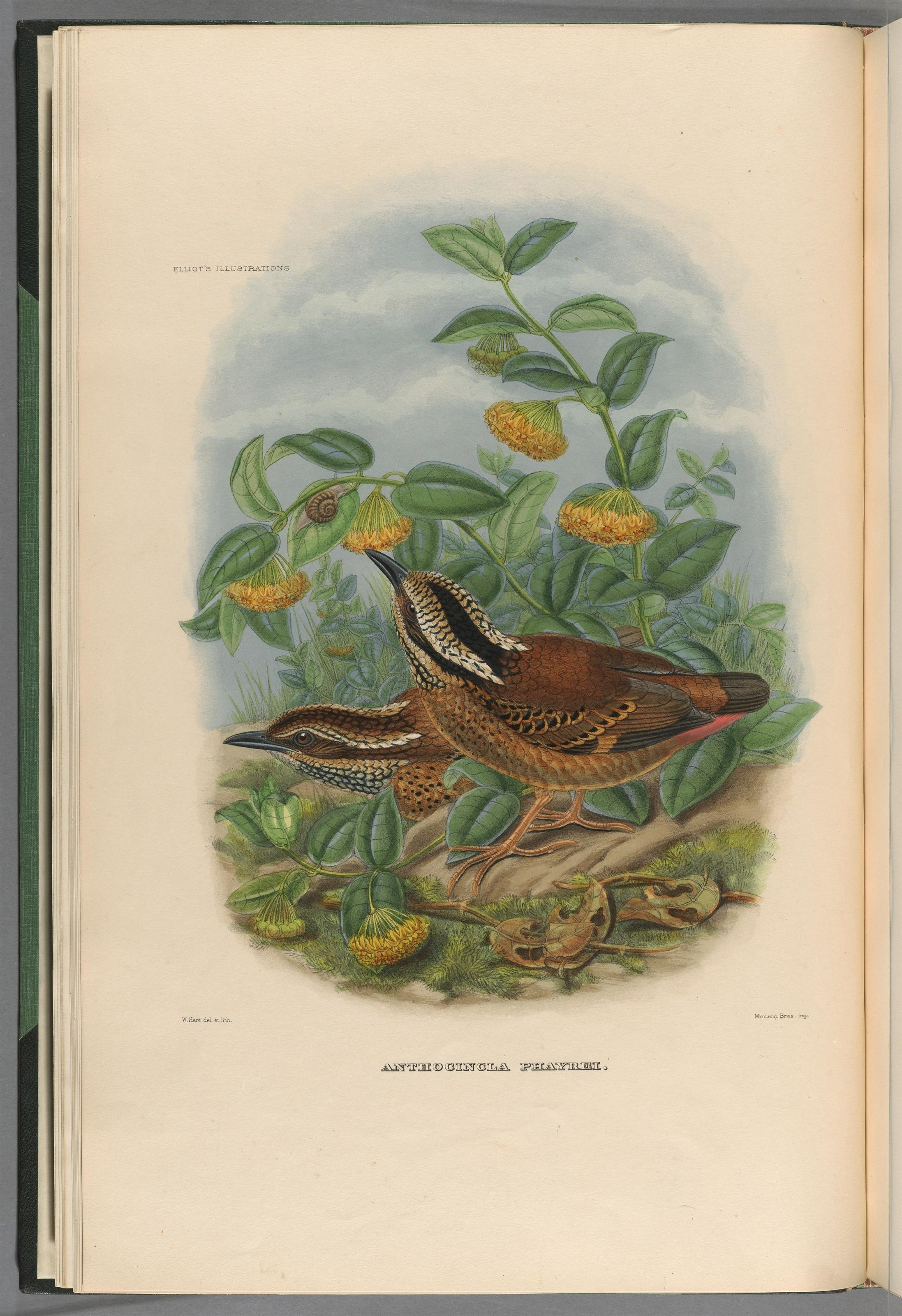 Image of Eared Pitta