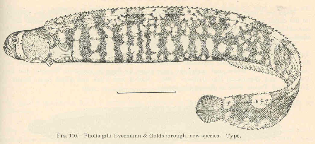 Image of <i>Pholis fasciata</i> (Bloch & Schneider 1801)