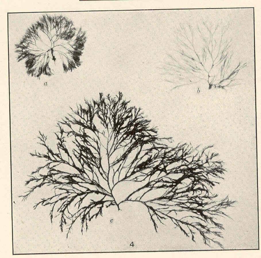 Image of <i>Melanothamnus harveyi</i>