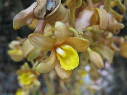 Image of <i>Cyrtosia septentrionalis</i> (Rchb. fil.) Garay