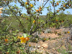 Image of Mexican flannelbush
