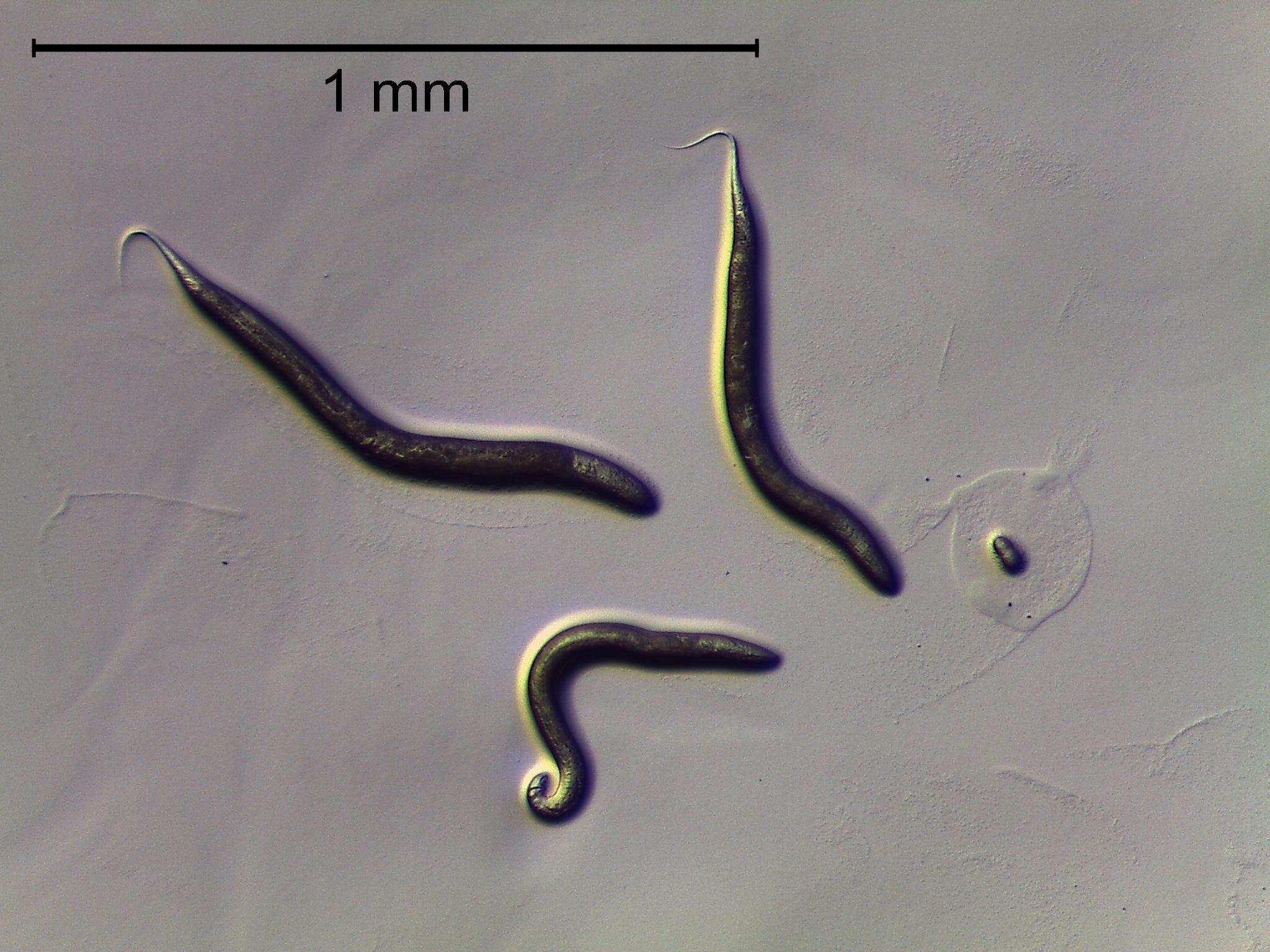 Image of Caenorhabditis
