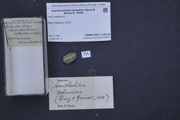 Image of <i>Acanthochitona zelandica</i> (Quoy & Gaimard 1835)
