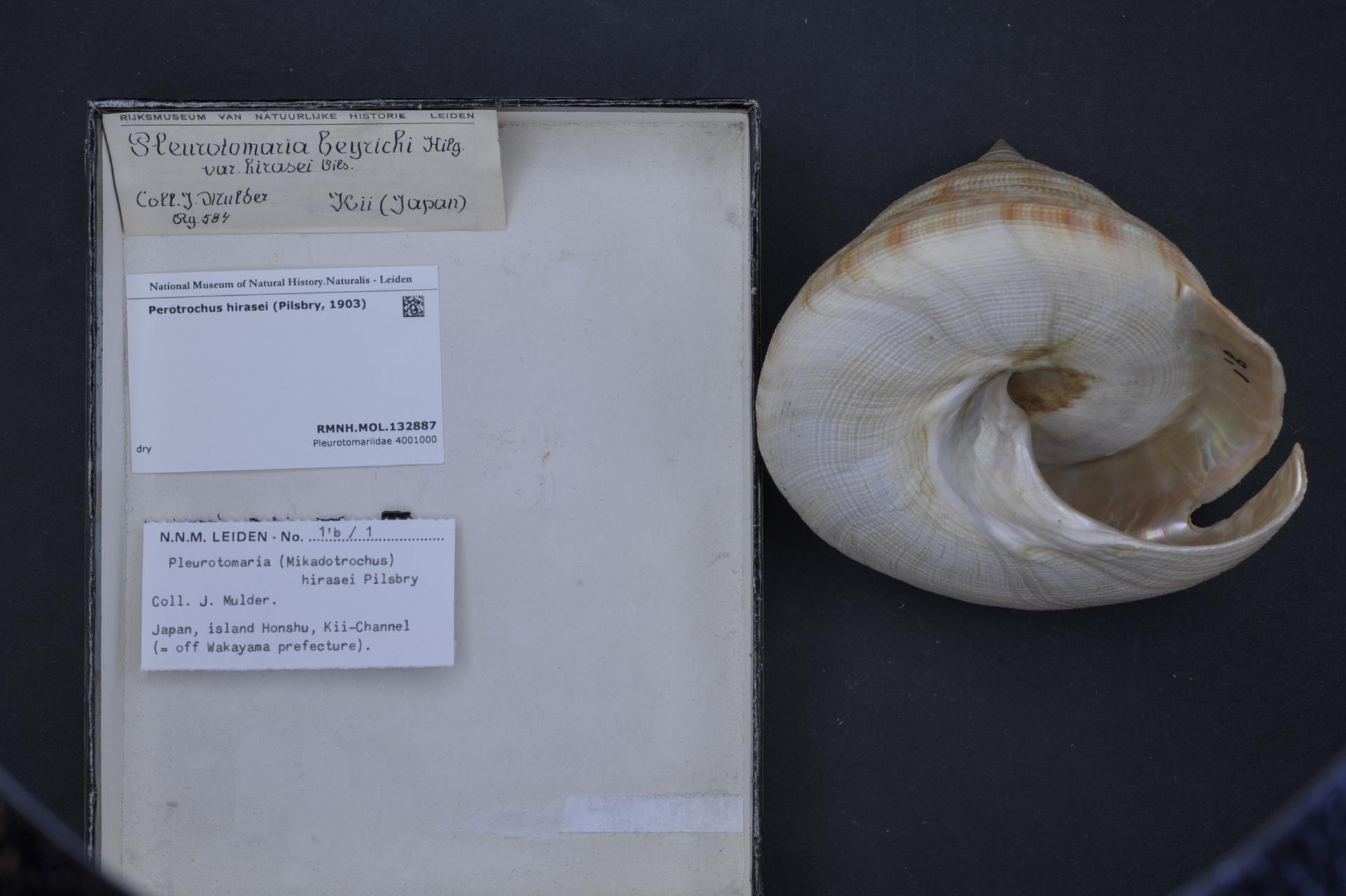 Image of Perotrochus
