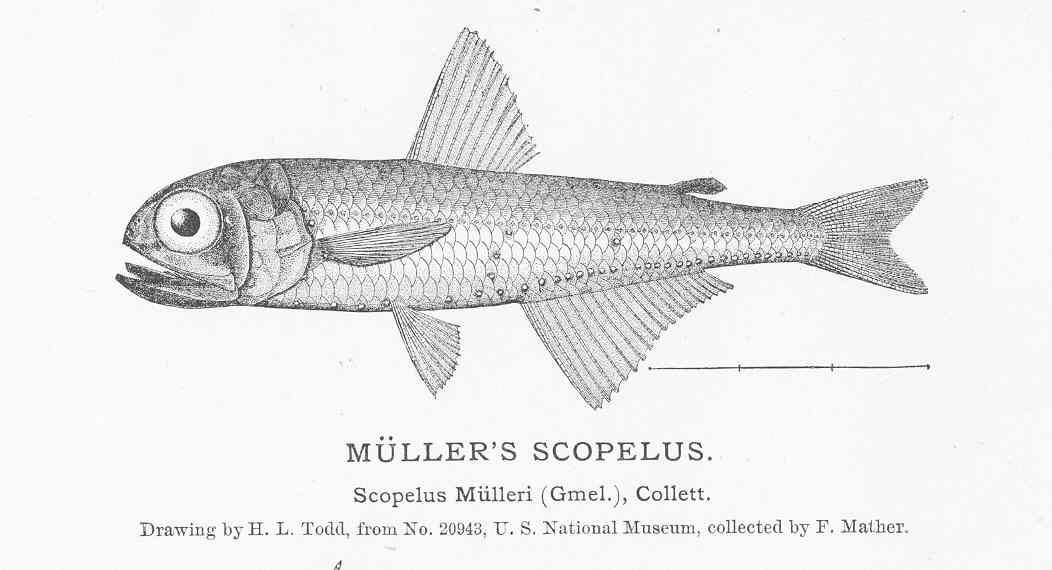 Image of Glacial Lanternfish