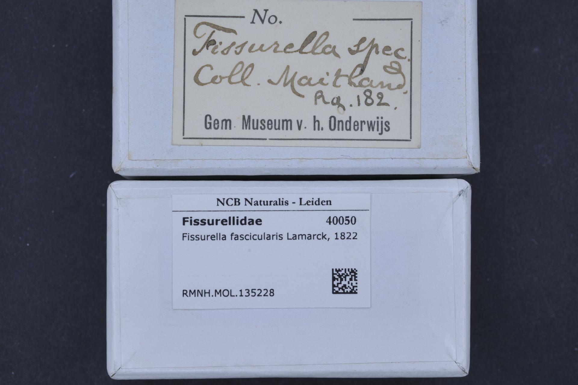 Image of <i>Fissurella fascicularis</i> Lamarck 1822