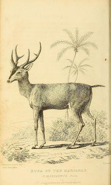 Image of Philippine Brown Deer