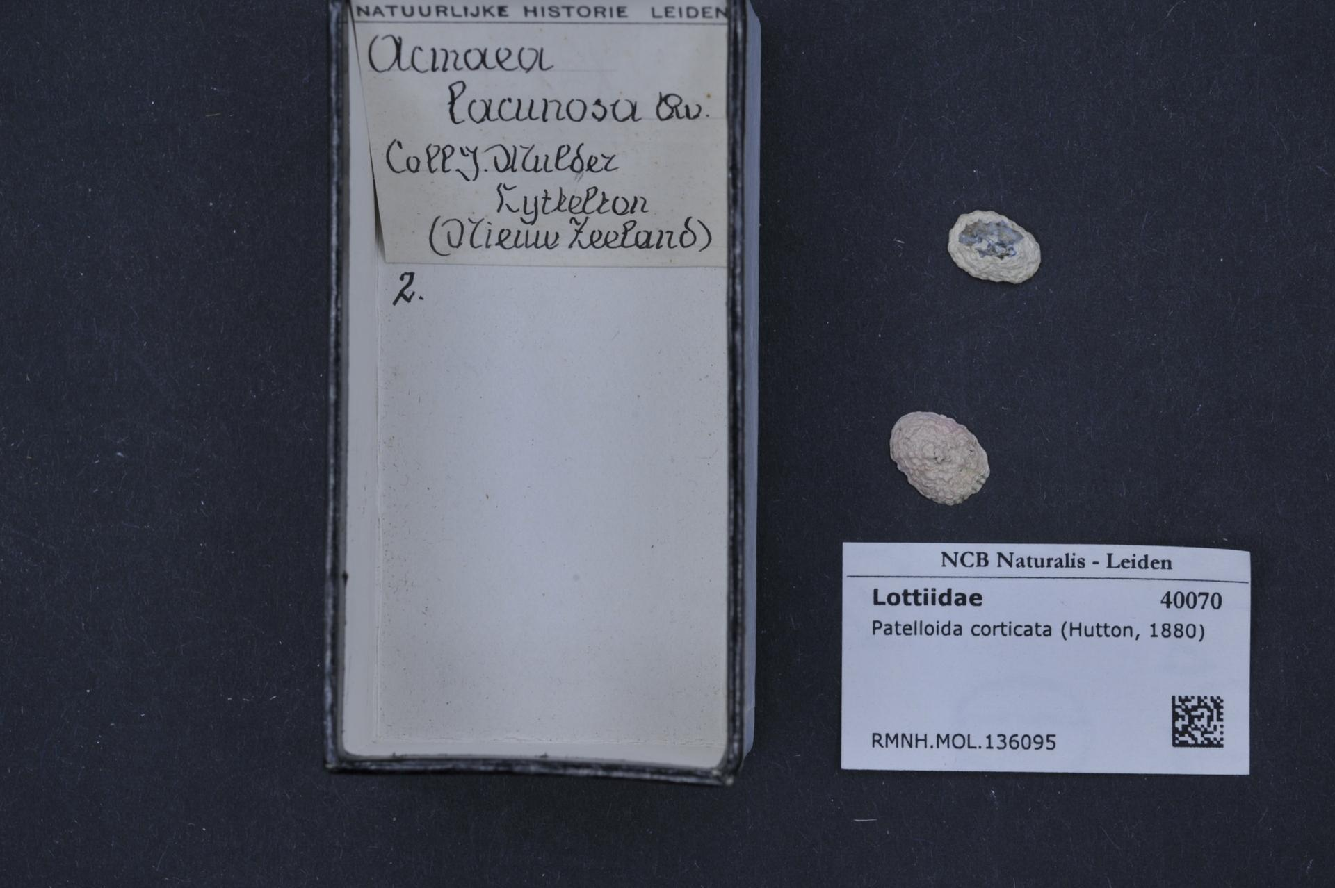 Image of <i>Patelloida corticata</i> (Hutton 1880)