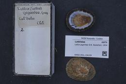 Image of <i>Lottia gigantea</i> Gray ex G. B. Sowerby I 1834