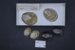 Image of owl limpet