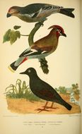 Image of Waxwings