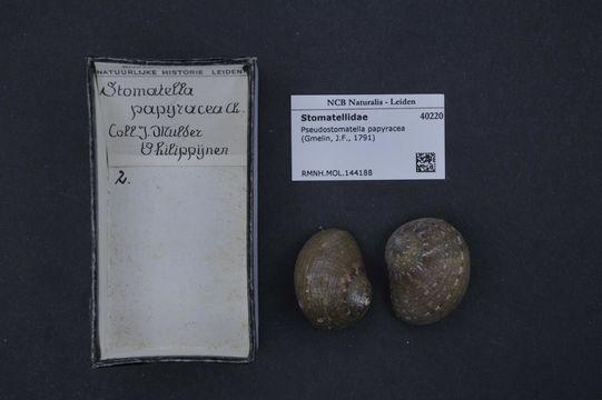 Image of <i>Pseudostomatella papyracea</i> (Gmelin 1791)