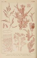 Image of <i>Polysiphonia morrowii</i>