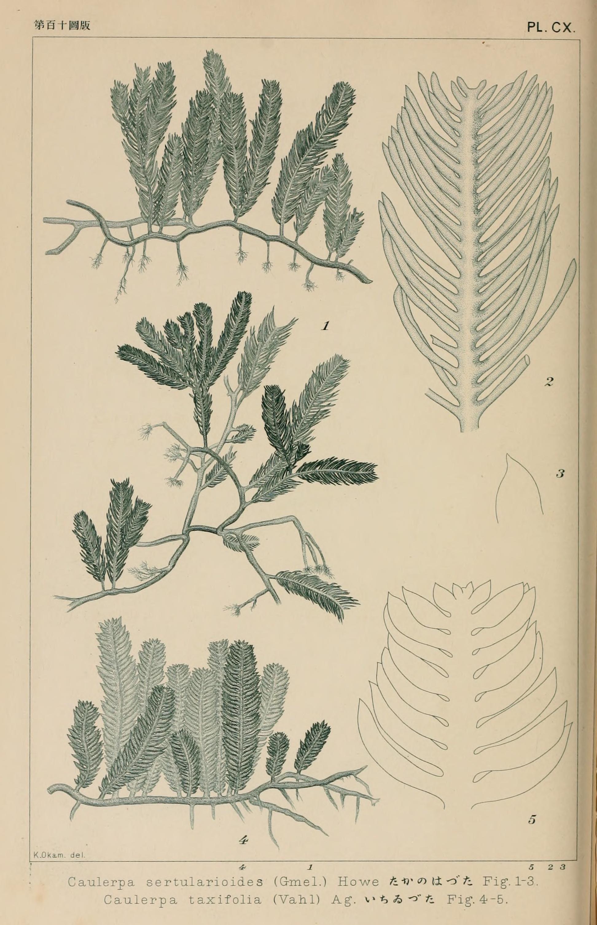 Image of killer alga