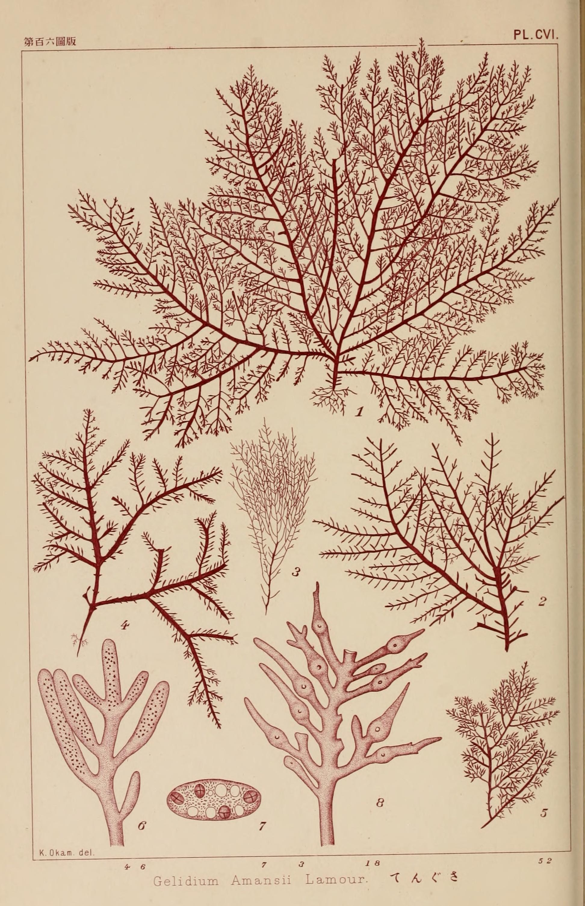 Image of <i>Gelidium amansii</i>