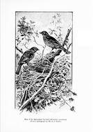 Image of Ailuroedus Cabanis 1851