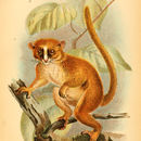 Image of Dwarf lemur