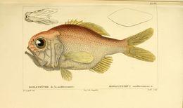 Image of <i>Hoplostethus mediterraneus trunovi</i>