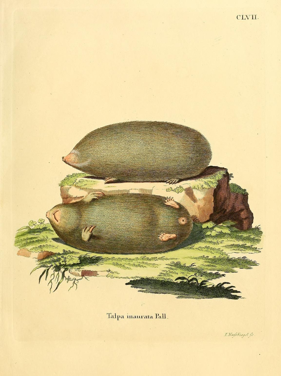 Image of Talpa
