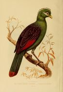 Image of <i>Tauraco macrorhynchus</i> (Fraser 1839)
