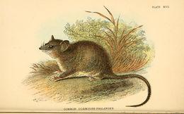 Image of Common Dormouse-phalanger