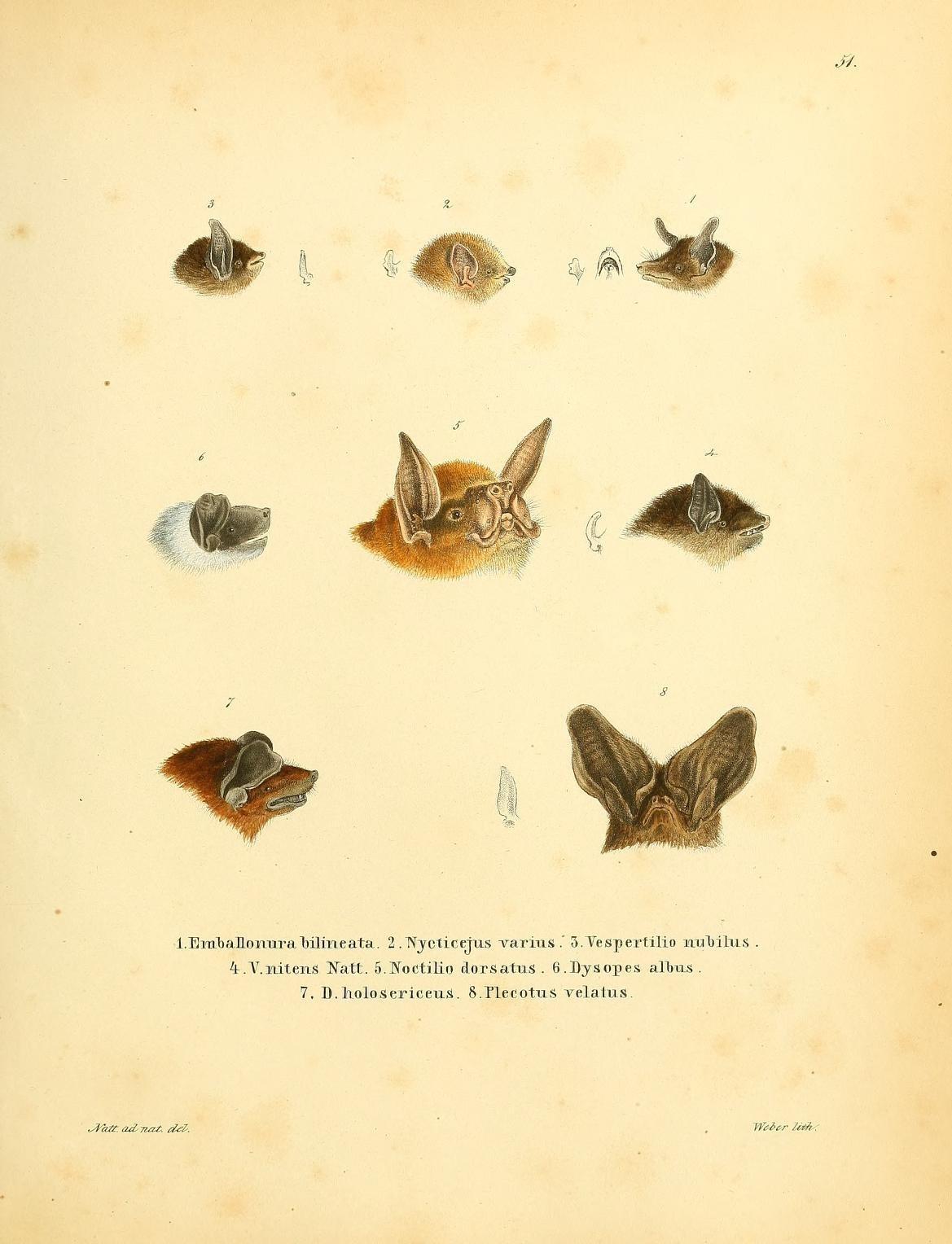 Image of Molossus