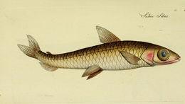 Image of <i>Argentina silus</i> (Ascanius 1775)