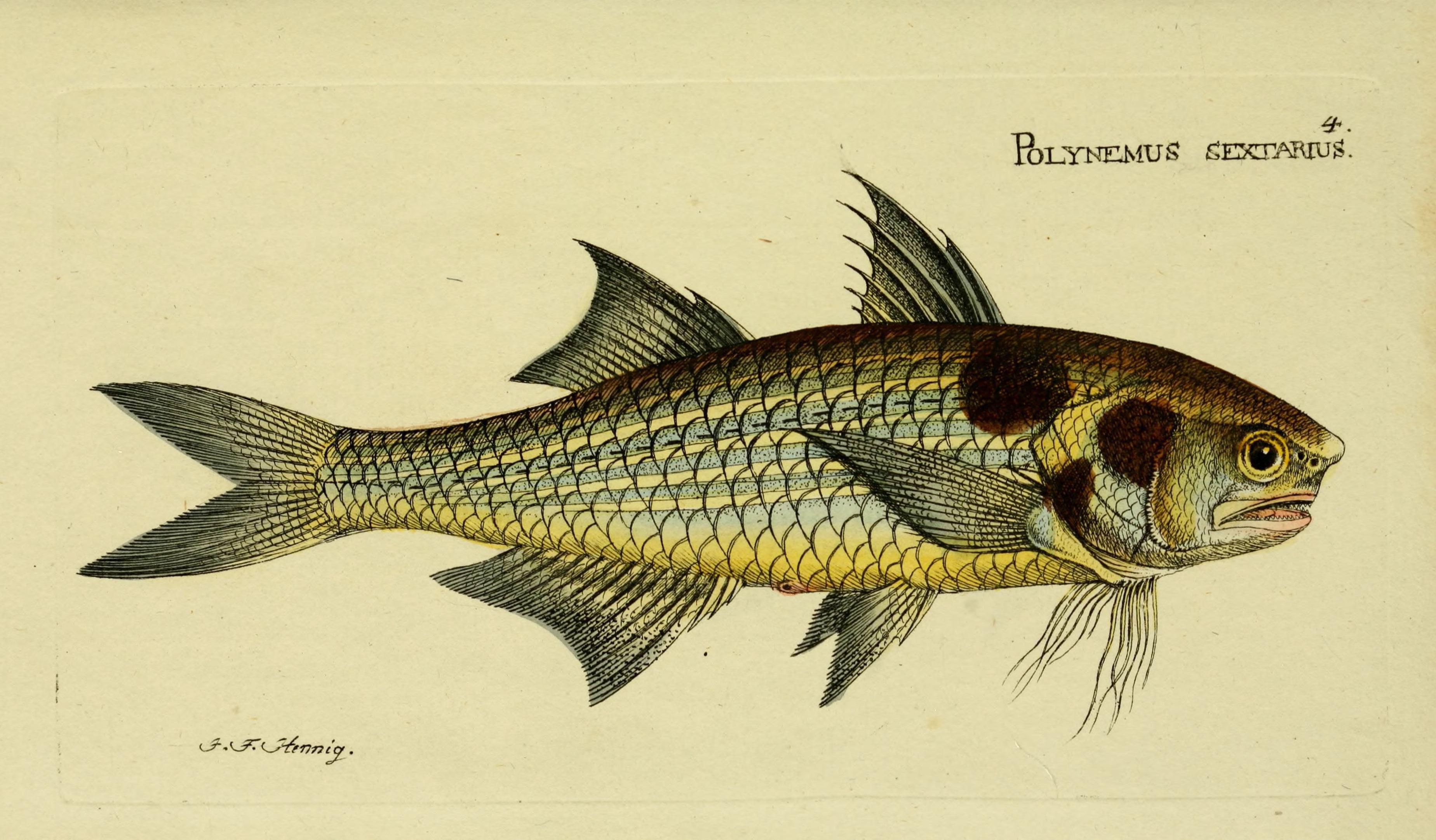 Image of sixfinger threadfish