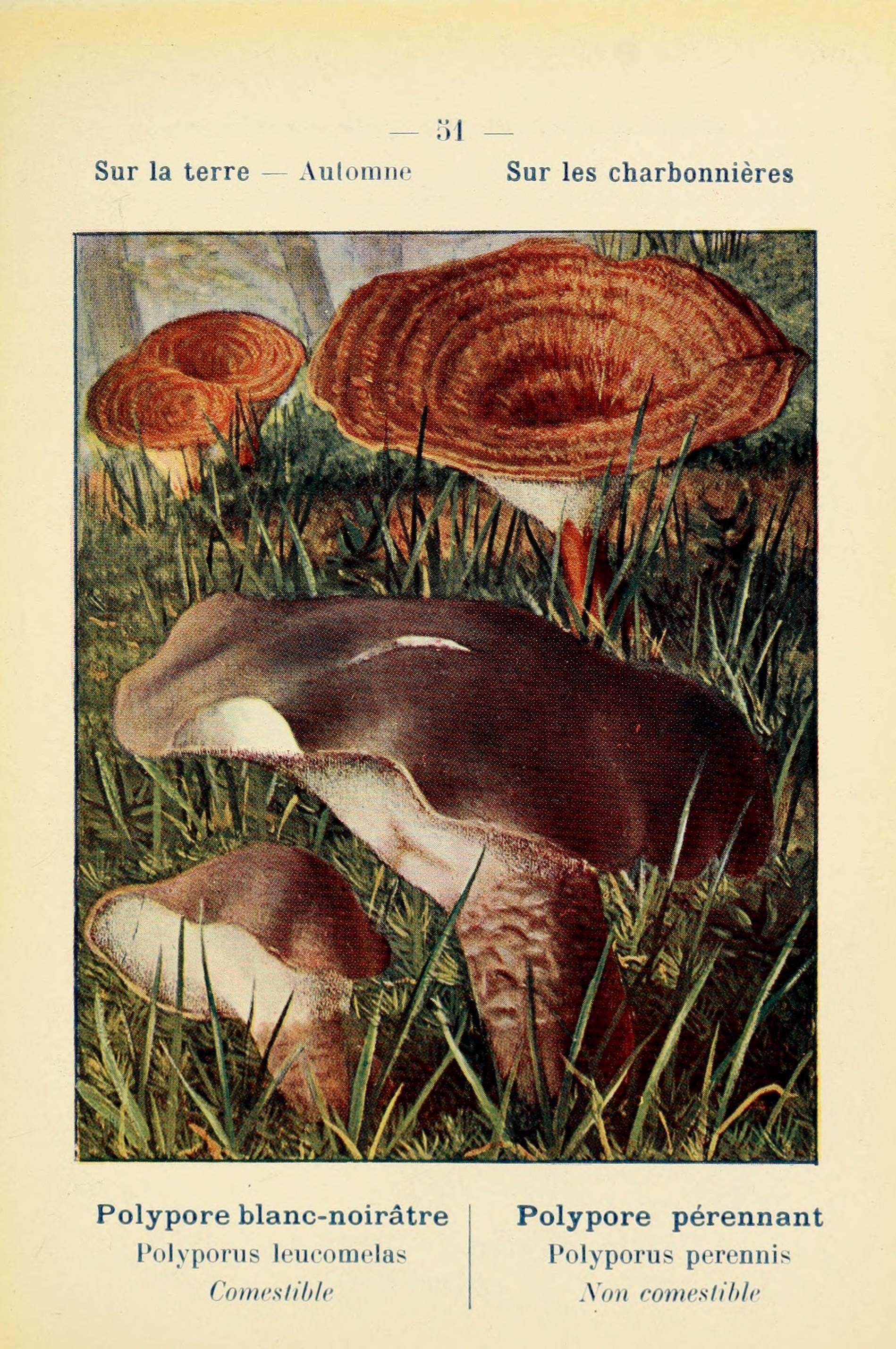 Image of <i>Boletopsis leucomelaena</i> (Pers.) Fayod 1889