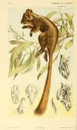 Image of Leadbeater's Possum