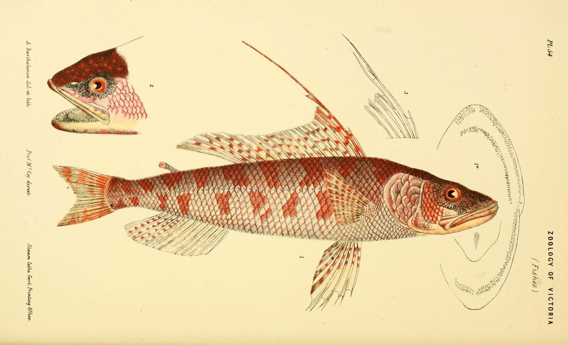 Image of Aulopus