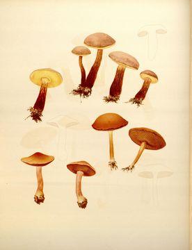 Image of <i>Chalciporus rubinellus</i> (Peck) Singer 1973