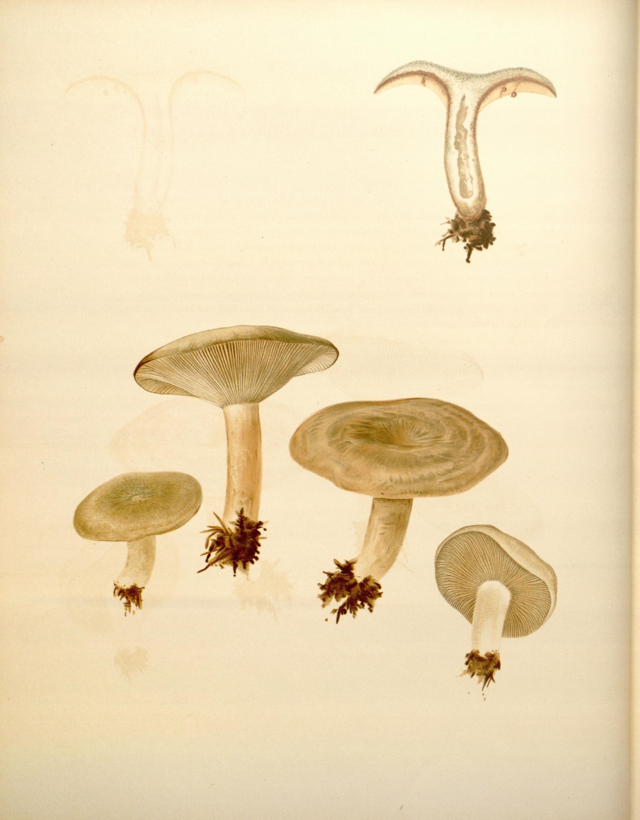 Image of <i>Lactarius chelidonium</i> Peck 1872