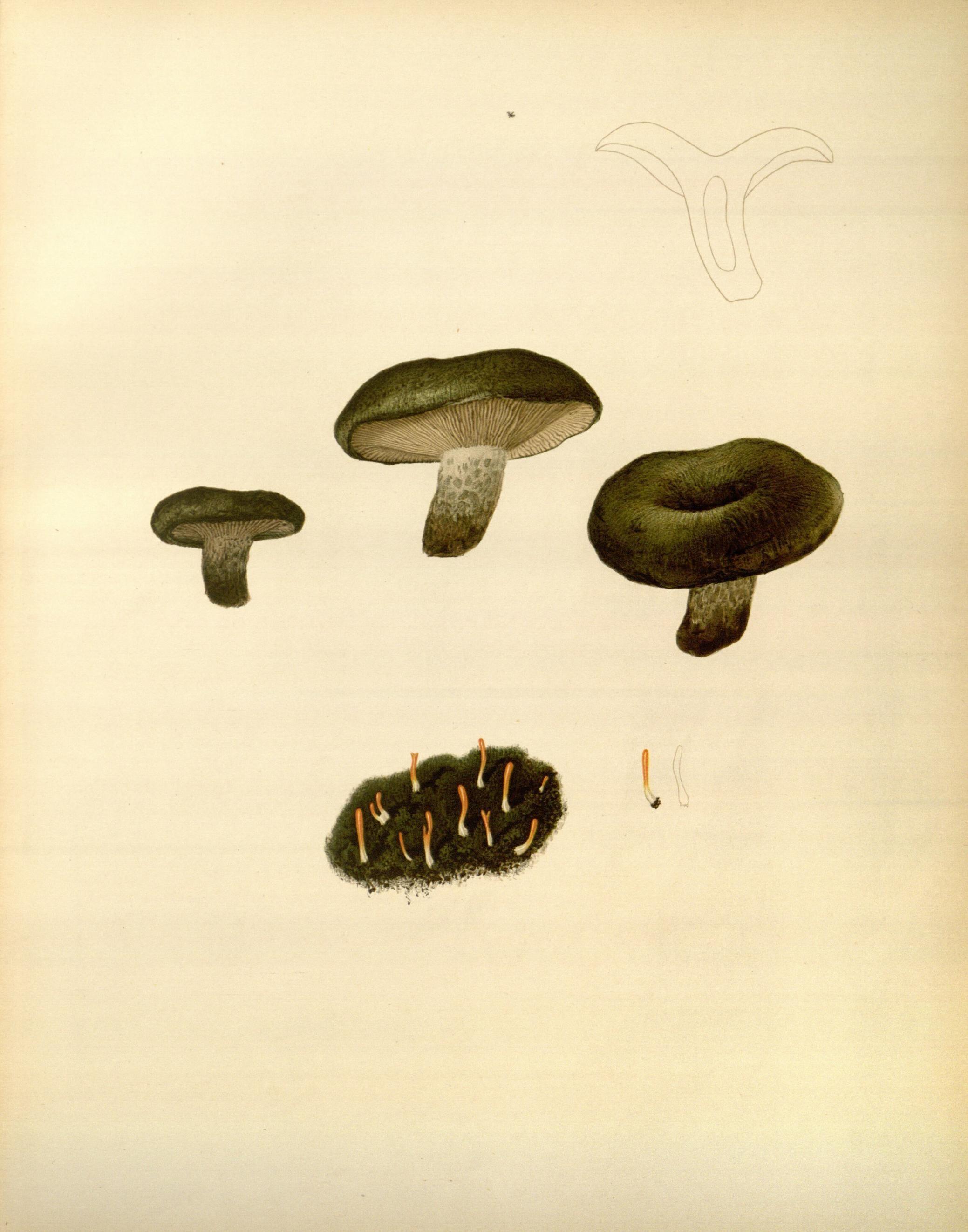 Image of spring club lichen