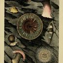 Image of daisy anemone