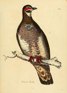 Image of Partridge Pigeon
