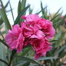 Image of Oleander