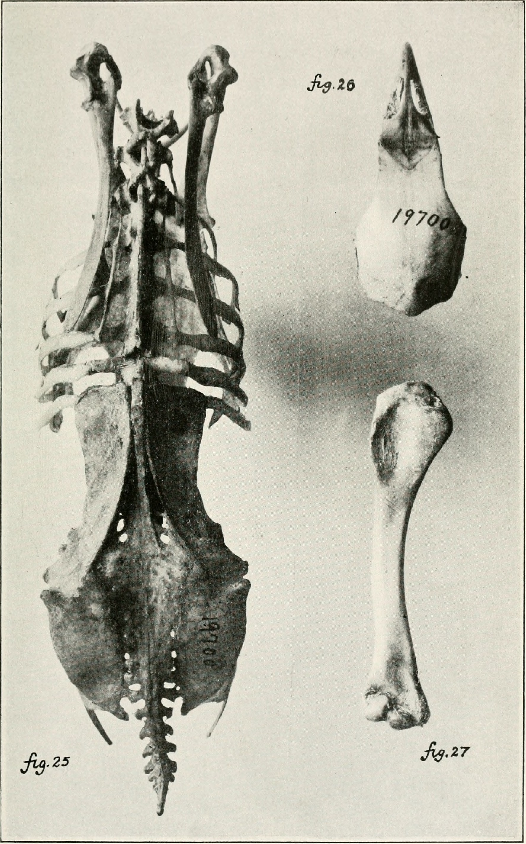 Image of Scrubfowl
