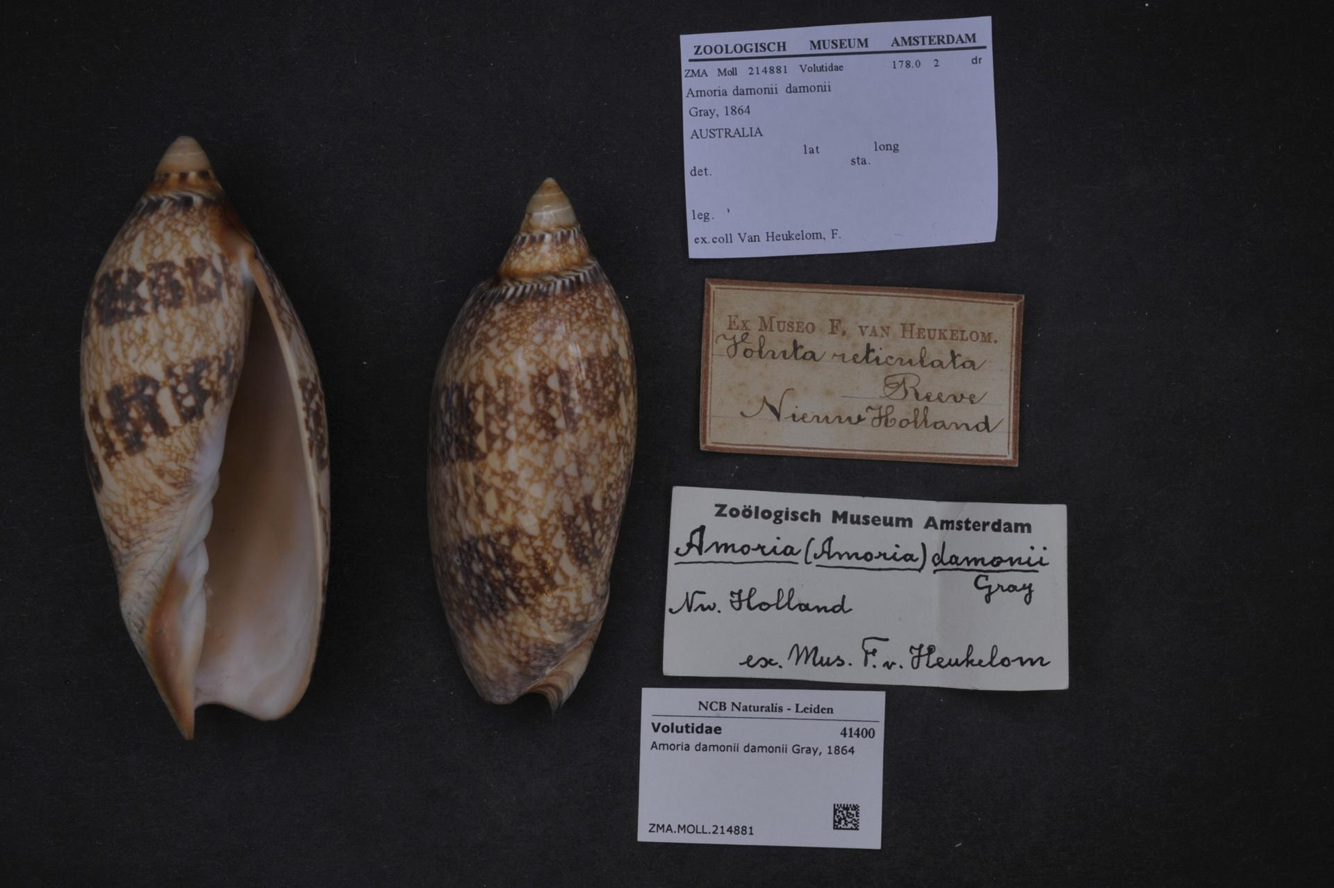 Image of <i>Amoria damonii</i> Gray 1864