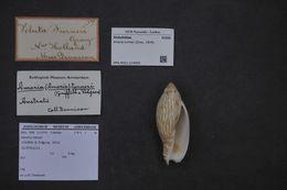 Image of <i>Amoria turneri</i> (Gray ex Griffith & Pidgeon 1834)