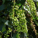 Image of <i>Dioscorea sylvatica</i> Eckl.